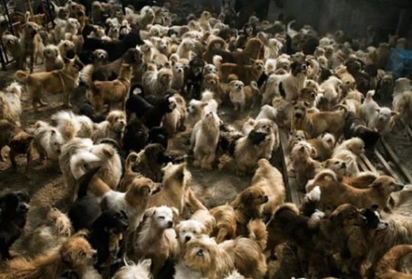 Chinese-man-rescues-adopts-140-dogs-5_2014-10-23_20-31-17-589x399