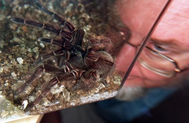 AUSTRALIA-LARGEST-SPIDER