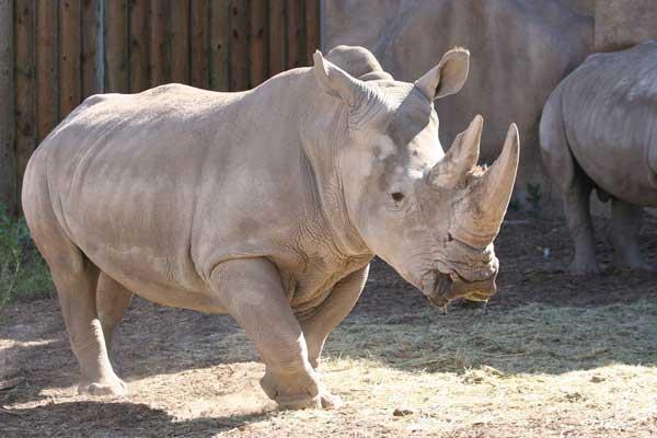 rhino_princess